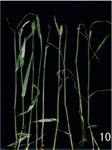 小麦- 缺素图谱 - 五弦维爱