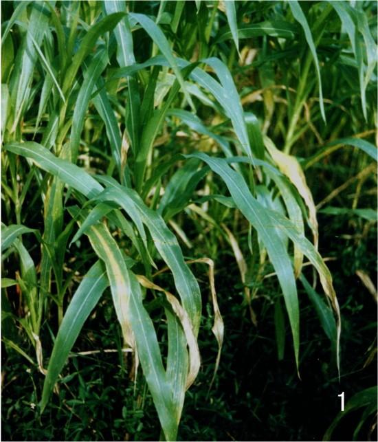 """玉米缺氮下位叶黄化呈倒""""v""""字型"""