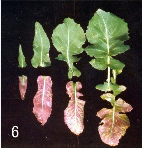 油菜- 缺素图谱 - 中国增值肥料网