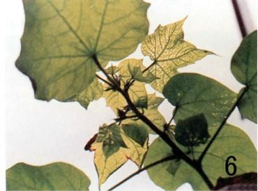 棉花- 缺素图谱 - 中国增值肥料网