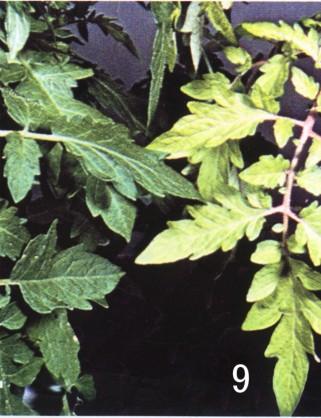 番茄- 缺素图谱 - 中国增值肥料网