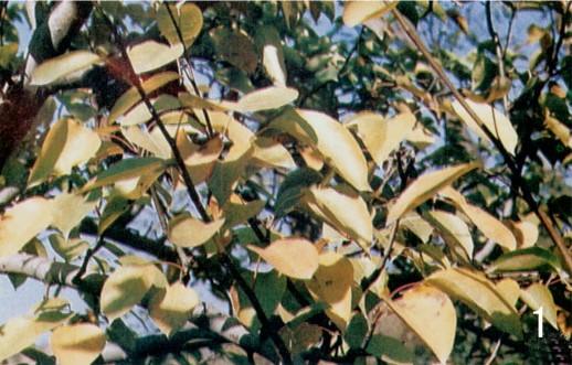 梨树缺氮,自下而上叶片均匀黄化