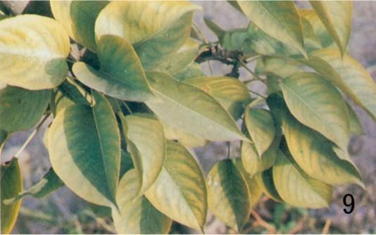 梨树缺锰,上部叶片脉间褪绿黄化