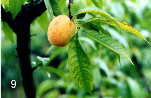 桃树缺镁,脉间均匀黄化
