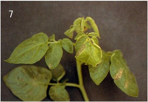 马铃薯 - 缺素图谱 - 中国增值肥料网