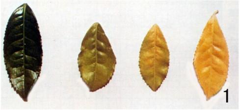 茶树缺氮,叶自下而上均匀黄化
