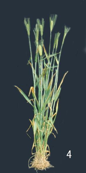 小麦缺钾,自下而上叶片黄化
